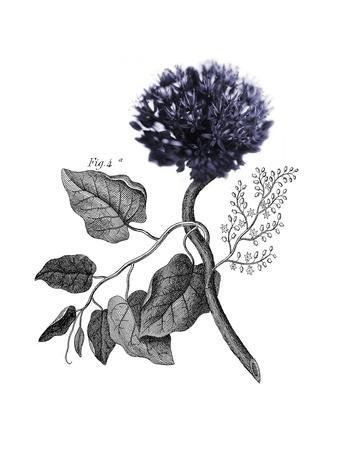 Allium Botanical