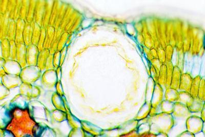 Heather Leaf Stomata, Light Micrograph-Dr. Keith Wheeler-Photographic Print
