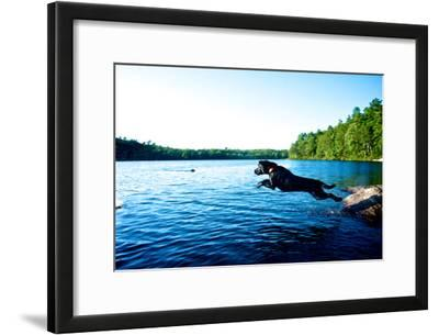 A Black Labrador Retriever Dog Leaps from a Rock into a Lake
