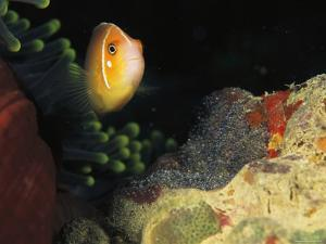 A Clownfish Guards its Nest of Eggs by Heather Perry