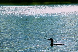 A Common Loon, Gavia Immer, Swimming in a Lake Shimmering with Reflections of Sunlight by Heather Perry