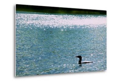 A Common Loon, Gavia Immer, Swimming in a Lake Shimmering with Reflections of Sunlight