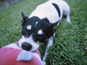 A Jack Russell Terrier Plays with a Stuffed Toy by Heather Perry