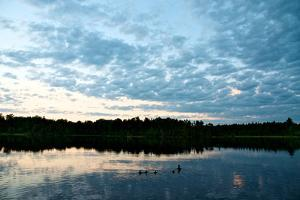 A Mallard Duck and Her Ducklings Swimming in a Pristine Lake at Sunrise by Heather Perry