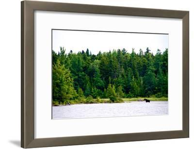 A Moose, Alces Alces, Wading in a Pristine Lake Bordered by and Evergreen Forest