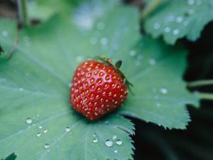 A Ripe Red Strawberry Lying on a Leaf by Heather Perry