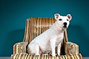 A White Pit Bull Mix Dog in a Striped Chair, Looking at the Camera by Heather Perry