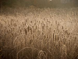 Cattails Going to Seed Among Golden Grasses by Heather Perry