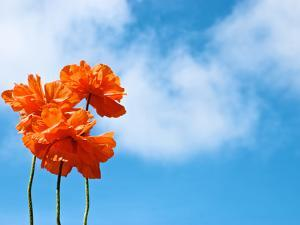 Orange Flowers Against a Blue Sky with Fluffy Clouds by Heather Perry