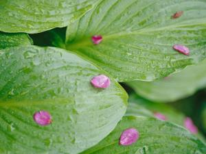 Pink Flower Petals Resting on Dew Drenched Hosta Leaves by Heather Perry