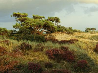 Heathland on the Island of Hiddensee in the East Sea-Norbert Rosing-Photographic Print