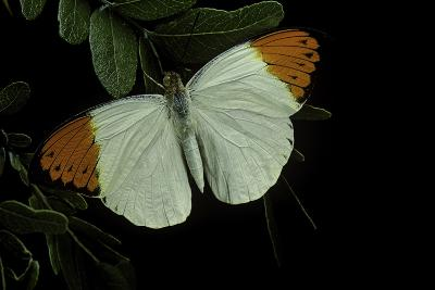 Hebomoia Glaucippe (Great Orange Tip)-Paul Starosta-Photographic Print