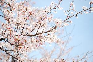 Sakura by Hector Garcia @kirai