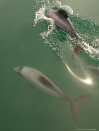 https://imgc.artprintimages.com/img/print/hectors-dolphin-new-zealand_u-l-q10r4se0.jpg?artPerspective=n
