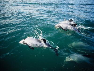 Hectors Dolphins, Porpoising, New Zealand-Gerard Soury-Photographic Print