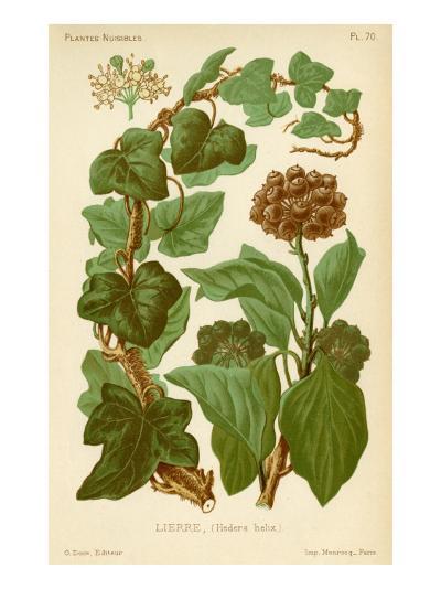Hedera Helix Ivy--Giclee Print