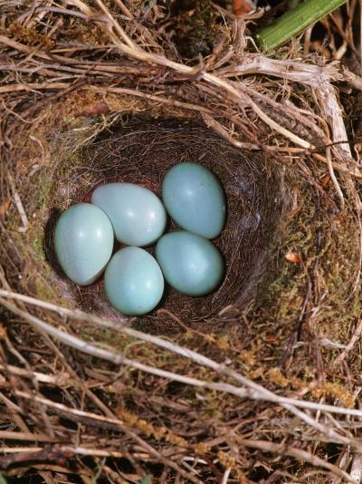 Hedge Sparrow / Dunnock, Nest with Five Eggs, UK-Jane Burton-Photographic Print