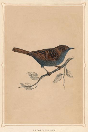 'Hedge Sparrow', (Prunella modularis), c1850, (1856)-Unknown-Giclee Print