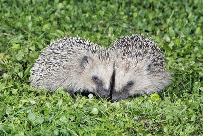 Hedgehog 2 Young Animals on Garden Lawn--Photographic Print
