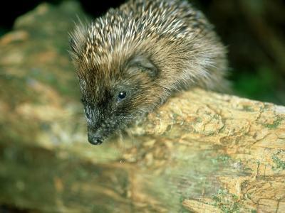 Hedgehog, Aylesbury, UK-Les Stocker-Photographic Print
