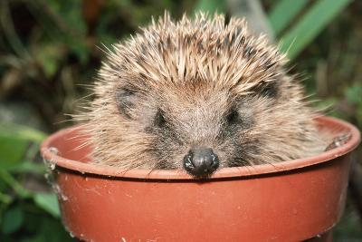 Hedgehog Close-Up in Flower Pot--Photographic Print