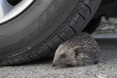 Hedgehog (Erinaceus Europaeus, at Risk by Car Wheel, Controlled Conditions, Captive, England, March-Ann & Steve Toon-Photographic Print