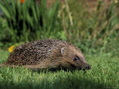 Hedgehog (Erinaceus Europaeus) in Suburban Garden, United Kingdom-Steve & Ann Toon-Framed Photographic Print