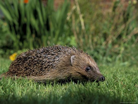 Hedgehog (Erinaceus Europaeus) in Suburban Garden, United Kingdom-Steve & Ann Toon-Photographic Print