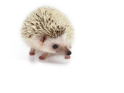 Hedgehog Isolated-Pongphan Ruengchai-Photographic Print