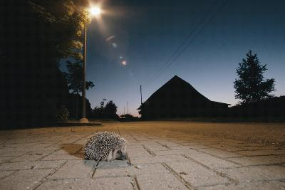 Hedgehog on Pavement at Night (Erinaceus Europaeus) Germany--Photographic Print