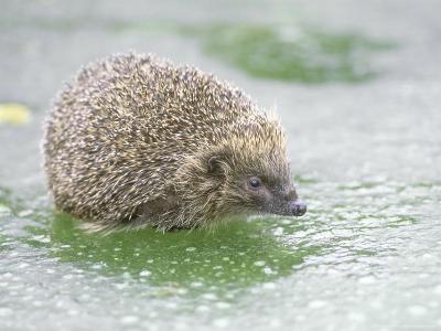 Hedgehog, UK-Les Stocker-Photographic Print