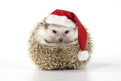 Hedgehog Wearing Christmas Hat--Photographic Print
