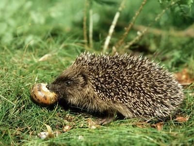 Hedgehog, Youngster Feeding on Snail, UK-Mark Hamblin-Photographic Print