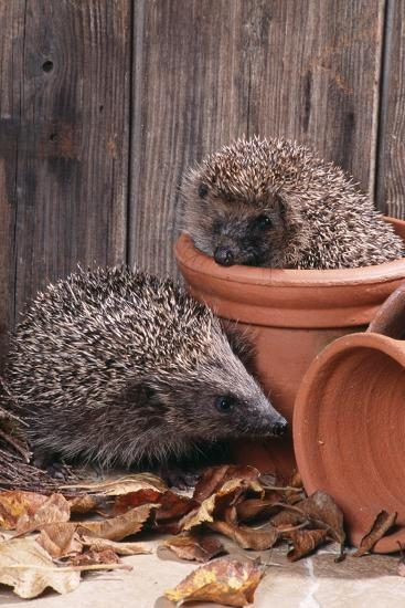 Hedgehogs in and Near Flowerpots--Photographic Print