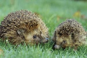 Hedgehogs Mother and Young in Grass