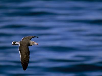 Heermann's Gull in Flight over Water, La Jolla, California-Tim Laman-Photographic Print