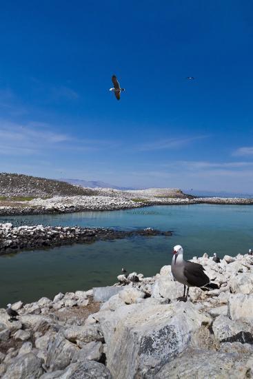 Heermann's Gulls (Larus Heermanni), Isla Rasa, Gulf of California (Sea of Cortez), Mexico-Michael Nolan-Photographic Print