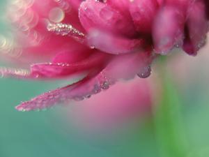 Pink Tears by Heidi Westum
