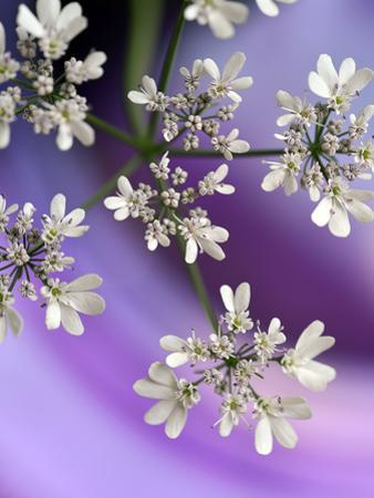 White In Purple by Heidi Westum