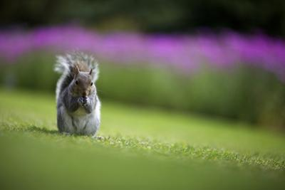 European Squirrel, Kirstenbosch, Cape Town, Western Cape, South Africa