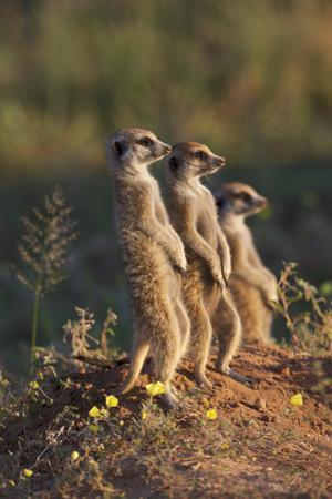 Three Suricates Looking into the Distance