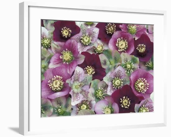 Heleborus Flower Design, Sammamish, Washington, USA-Darrell Gulin-Framed Photographic Print