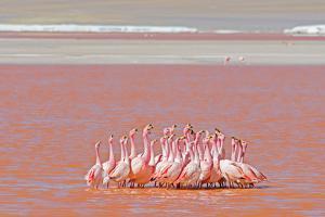 Ritual Dance of Flamingo, Wildlife, Laguna Colorada (Red Lagoon), Altiplano, Bolivia by Helen Filatova