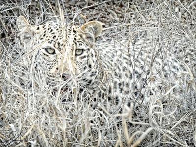 Leopard by Helene Sobol
