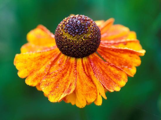 "Helenium ""Sahins Early Flowerer""-Lynn Keddie-Photographic Print"