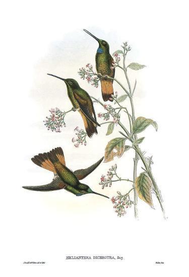 Helianthea Dichroura, Hummingbirds-John Gould-Art Print