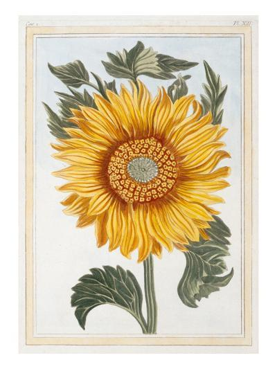 Helianthus annus-Pierre Joseph Buchoz-Giclee Print