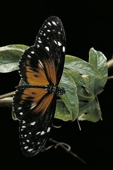 Heliconius Atthis Male X Heliconius Hecale Female (Longwing Butterfly)-Paul Starosta-Photographic Print