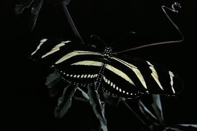 Heliconius Charithonia (Zebra Longwing)-Paul Starosta-Photographic Print