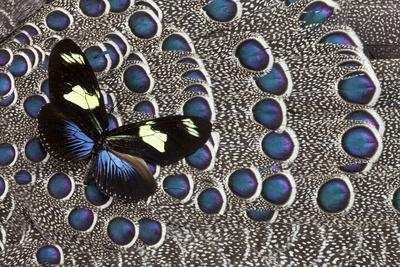 https://imgc.artprintimages.com/img/print/heliconius-longwing-butterfly-on-grey-peacock-pheasant-feather-design_u-l-pyroca0.jpg?p=0